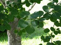 photo of Aspen leaves