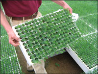photo: Showing containerized seedlings