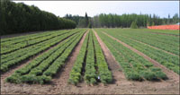 photo: Outdoor pine seedling bed