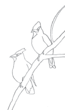 drawing of Cedar Waxwing birds