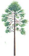 image of red pine