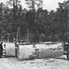 Largest white pine cut in Minnesota happened in 1906. Stump diameter was equal to 76 inches and was aged at 420 years.