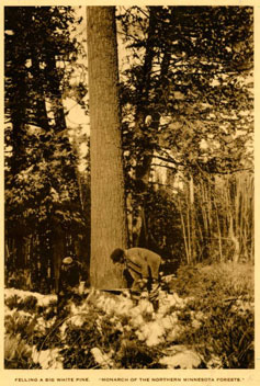 photo: Two men sawing a large White Pine