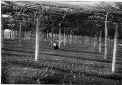 "photo: The Pillsbury Reserve nursery, showing Norway spruce seedlings sown in 1904 and covered by a brush ""shade."" Photo taken in October 1904."