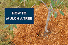 wood mulch around tree
