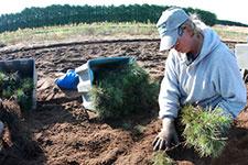 person on their knees harvesting pine seedlings