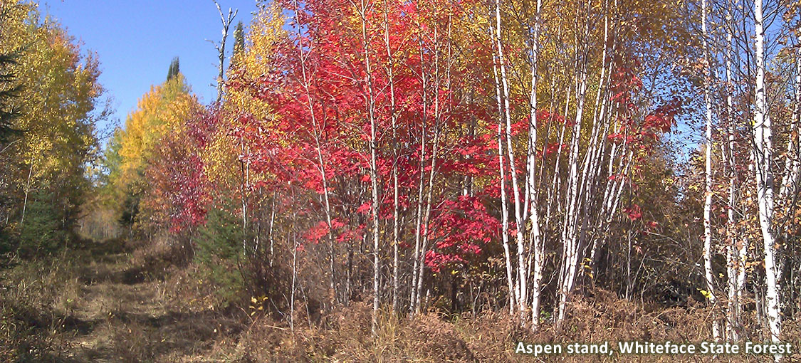 multi-colored aspen stand along trail in Whiteface State Forest.