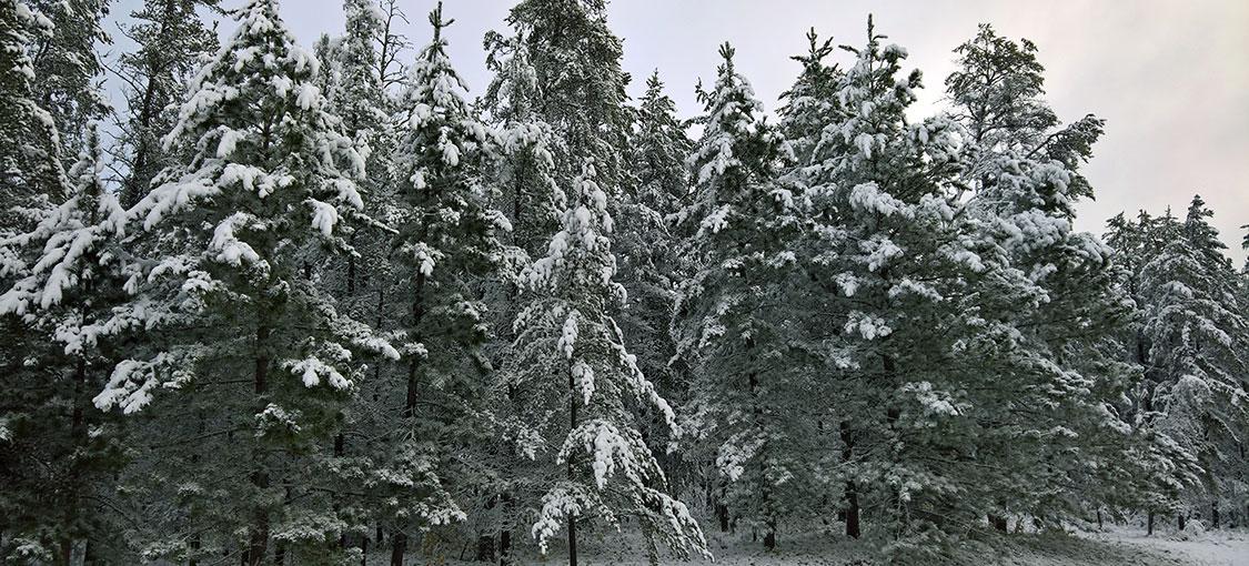snow cover pine trees on Beltrami Island State Forest
