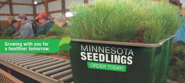 Box of Red Pine seedling on belt in sorting room
