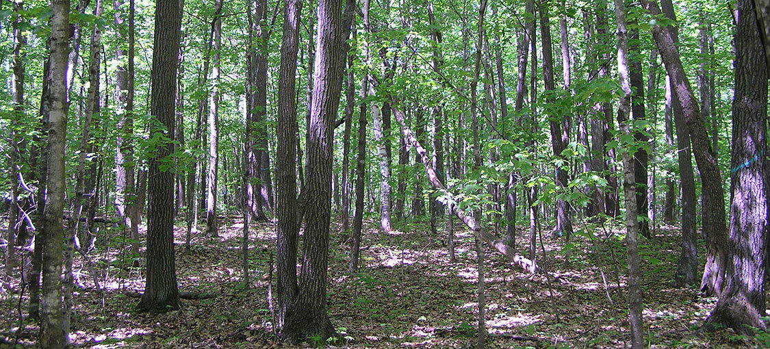 landscape forest of basswood, northern red oak, and sugar maple