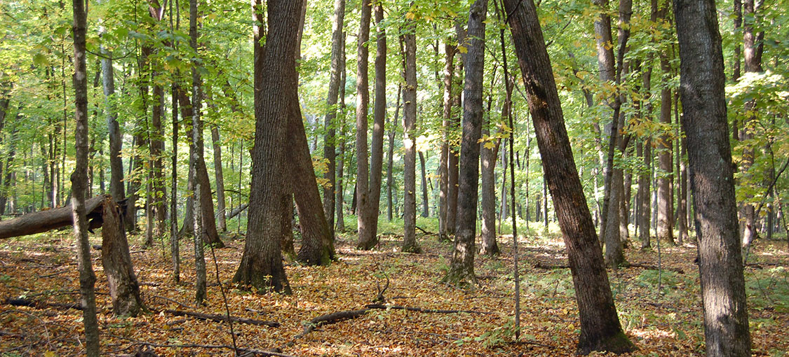 Oak forest with fall color leaves covering the forest floor.