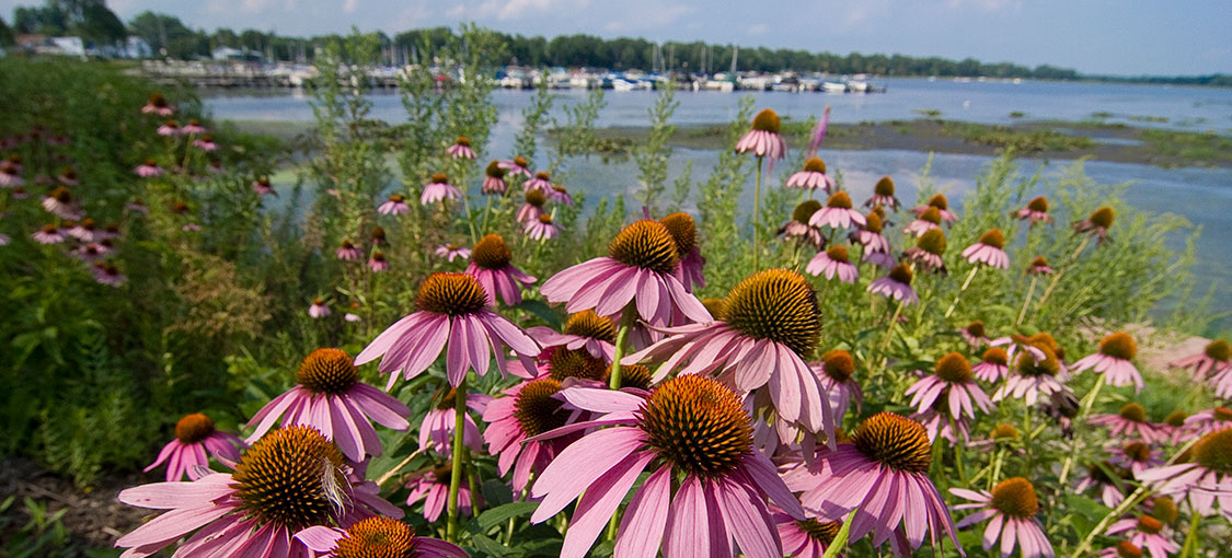 purple cone flower in forground and lake with marina in background