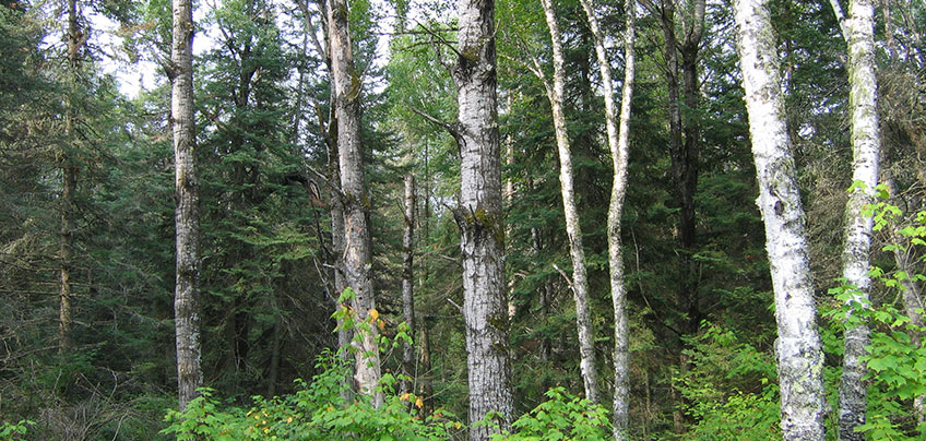 Aspen, paper birch and white pine with mixed shrub understory