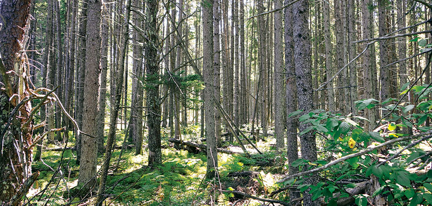 forest mix of jack pine and qualing aspen and understory of ferns