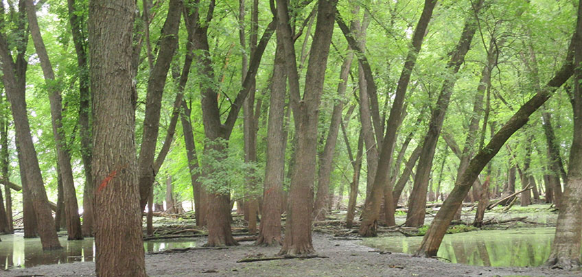 Floodplain forest floor along the Vermillion River coveredsowing silver maple, black willow, and cottonwood trees.