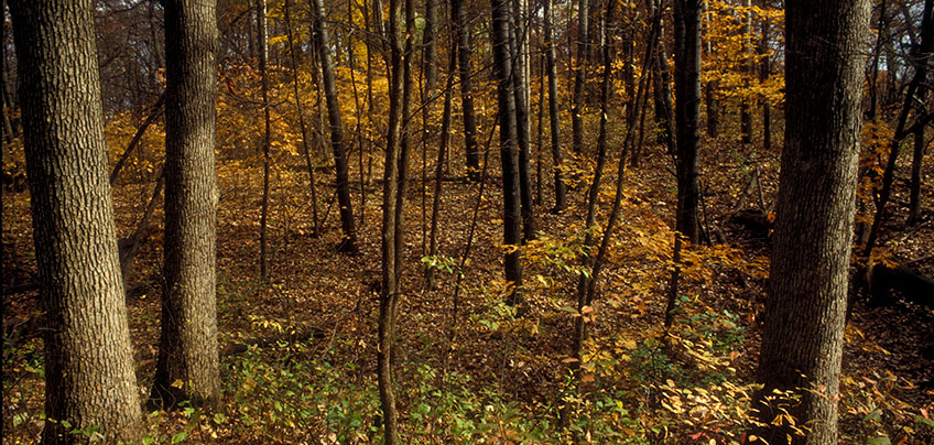 landscape showing a variety of northern red oak, white oak, and basswood trees