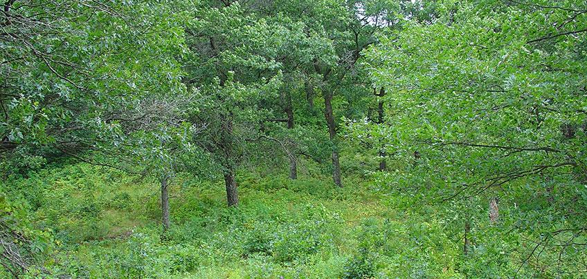 Bur oak, shagbark hickory, American elm trees