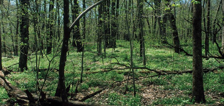 landscape showing variety of American elm, red elm, rock elm, basswood, black ash, green ash, hackberry trees