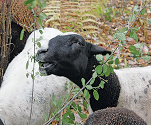 sheep eating buckthorn