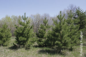 photo of medium size pine trees