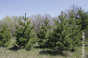 photo of medium size pine trees