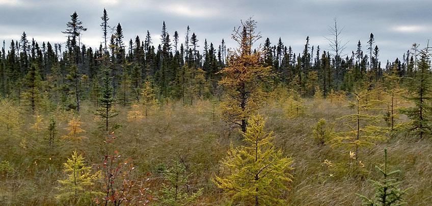 conifer bog showing black spruce and tamarack.