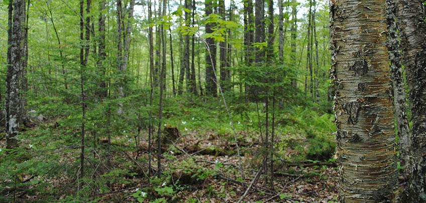 landscape showing sugar maple