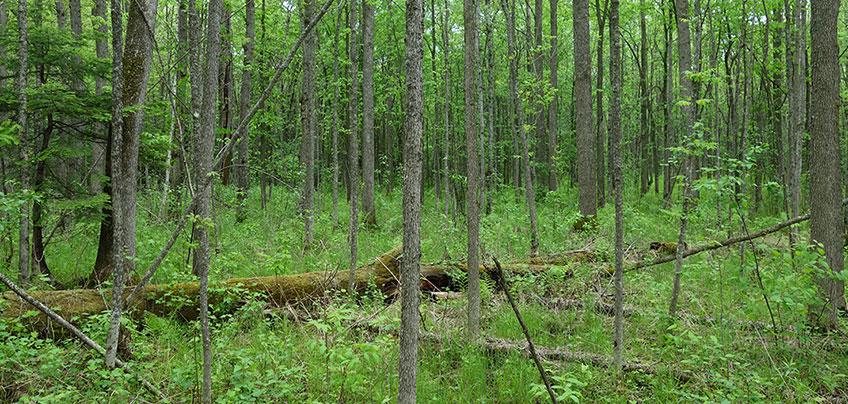 landscape showing black ash, red maples and balsam poplar.