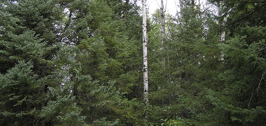 paper birch and balsam fir
