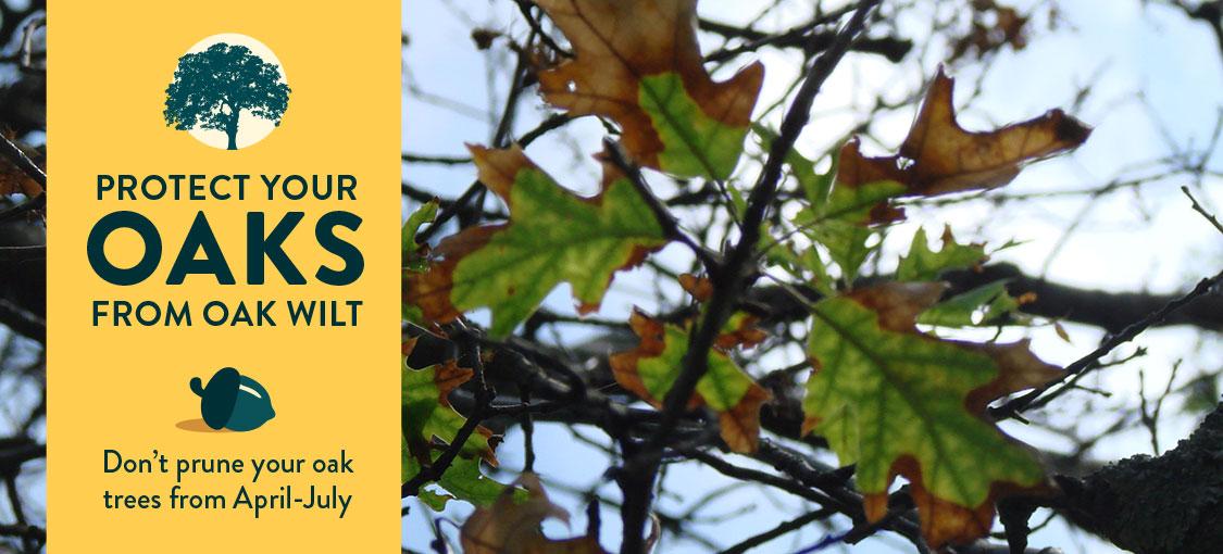 Prevent Oak Wilt. Don't prune your oak trees from April - July.
