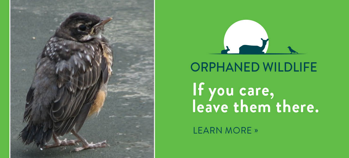 Orphaned Wildlife. If you care, leave them there. Photo of a young bird by itself and a small graphic of animal silhouettes.