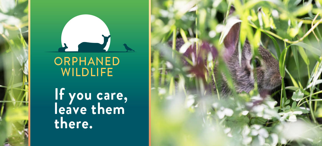 Orphaned Wildlife. If you care, leave them there. Photo of a bunny by itself and a small graphic of animal silhouettes.