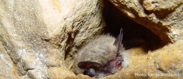 Northern long-eared bat in cave.