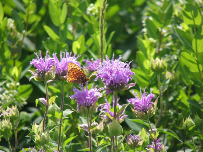 Close-up of Aphrodite Fritilarry butterfly pollinating purple Wild Bergamot flower in a Minnesota native prairie