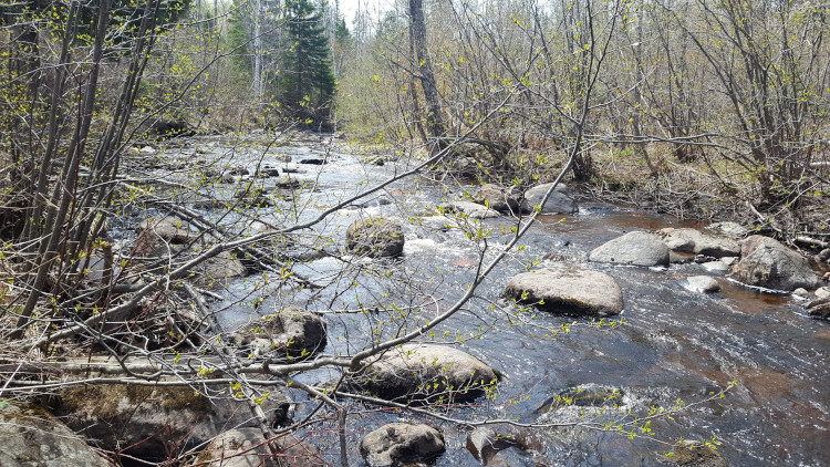 Stream running through mixed deciduous and conifer forest with spring buds on the branches