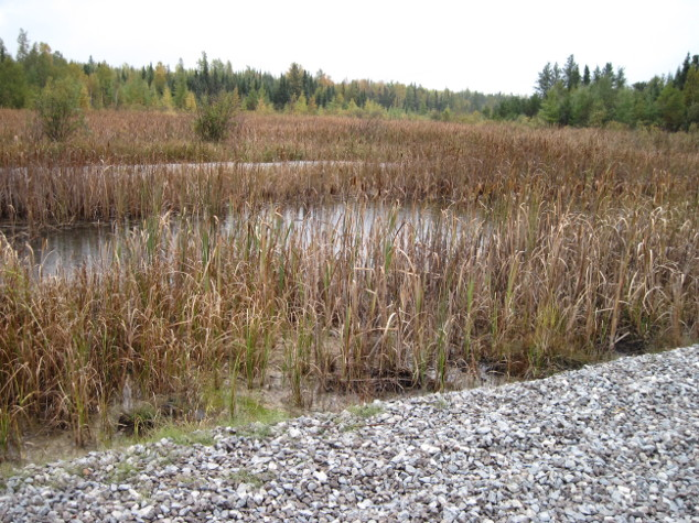 Wetlands with grasses growing in tailings basins
