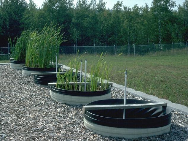 Test plots growing wetland grasses on various tailings basin samples