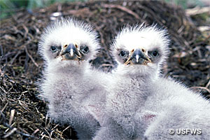 Bald eagle chicks photograph.