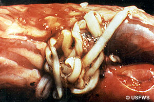 Bass tapeworm