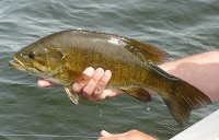 photo of a smallmouth bass being released