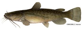 Illustration of a flathead catfish
