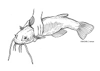 illustration of how to hold a large catfish behind the spines