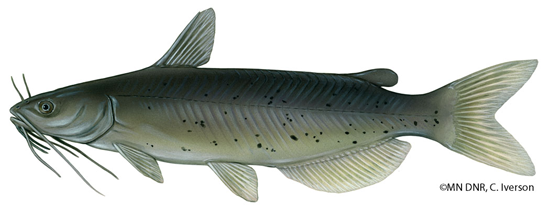Illustration of a channel catfish