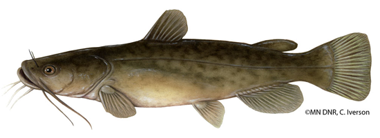 Illustration of a flathead catfish