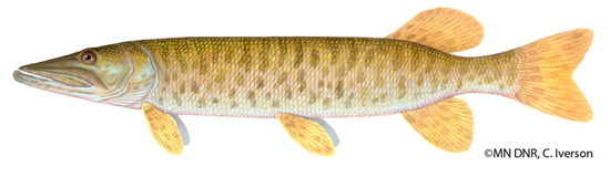 picture of a Muskie with copyright MN DNR, C. Iverson