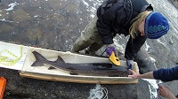photo of large sturgeon in a cradle net on a board with tape measure and person measuring fish