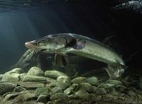 Underwater photo of a lake sturgeon