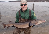 man holding large sturgeon vertically on the shore of the St. Croix River