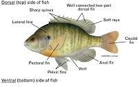 graphic of a bluegill with all the fins labeled