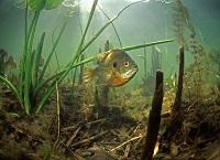 Underwater photo of a bluegill